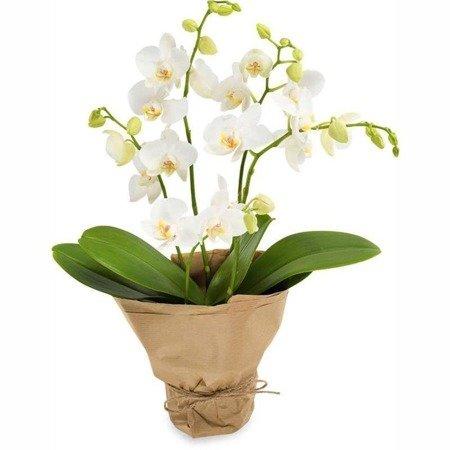 Biały Phalaenopsis
